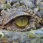 La masacre de los cocodrilos de agua dulce en la Isla de Ramree